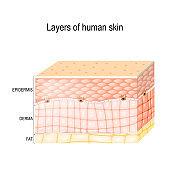 Layers Of healthy human Skin.