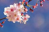 Cherry Blossoms - Sakura - Kirschblüten