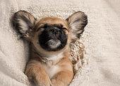 Cute tan puppy asleep