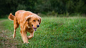 Golden retriever dog. Gorgeous pet dog running through a meadow