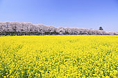 Cherry and rape blossoms field