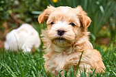 Havanese puppy sitting in grass looking into the camera