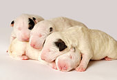 Bull Terrier puppies, 10 days old, lying in side over white background