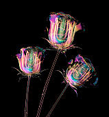 color glass flower isolated on black , the rose