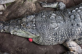 Big Crocodile Face