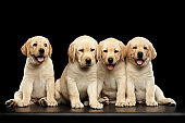 Golden Labrador Retriever puppies isolated on black background