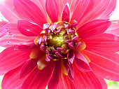 Close Up Macro Detail of Pink Dahlia Flower