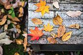 Leaf peeping.Japanese maple.
