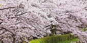 Beautiful Sakura cherry blossom tree