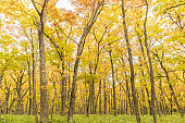 Yellow forest at Nikko