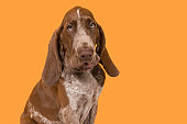 Portrait of a bracco italiano puppy on an orange background in a horizontal image