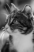 black and white portrait of a domestic cat, a fluffy animal, a pet