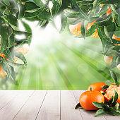 Mandarin fruits and mandarin tree leaves on summer background