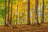 Deciduous trees with autumn colours in a forest