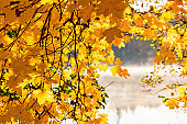 Maple leaves in autumn colours by a lake with morning mists