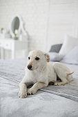 Cute puppy in cozy home interior