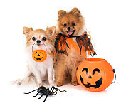 puppy pomeranian, chihuahua and halloween