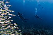 Scuba divers in underwater school of Bigeye Snapper (Lutjanus lutjanus) fish