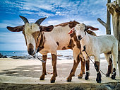 Kid Goat and Mother Goat escaped and went to the beach