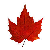 Autumn red maple leaf isolated on the white background. Fall leaves.