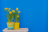Yellow sprind daffodils planted in coloful pots isolated on the blue   background