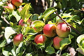 Ripe organic apples on tree in August summer month