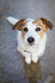 JACK RUSSELL DOG SIT ON WET ASPHAT LOOK UP