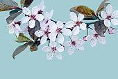 Cherry Blossom - Spring Background
