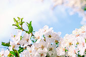 Spring nature background with cherry blossom on blue sky background