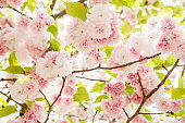 Cherry blossom, pink flowers in blooming with nice background