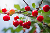 Red cherries on a branch of a cherry tree.