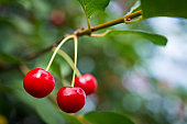 Ripe red cherries grow on a branch.