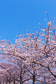 Spring Sky and Cherry Blossoms