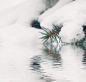 spruce branch in the snow above the water