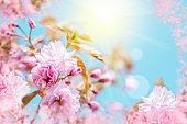 Beautiful sakura flower cherry blossom. Greeting card background template. Shallow depth. Soft toned. Spring nature.