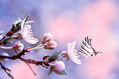 Beautiful sakura flower cherry blossom with ladybug and butterfly. Greeting card background template. Shallow depth. Soft pink and purple toned. Copy space