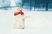 Funny white Samoyed dog in scarf stands on hind legs at snow in winter day, empty copy space snowy background