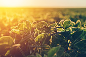 Soybean in sunset