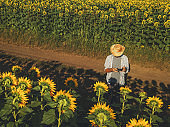Farmer agronomist using drone to examine blooming of sunflower crops