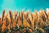 Cereal crops growing