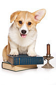 Funny redhead welsh corgi pembroke puppy and old books (isolated on white)