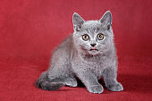 Gray kitty british cat on red background