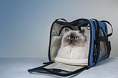 Fluffy cat in a bag for transporting animals