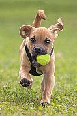Cute Puppy Running Toward Camera on Grass