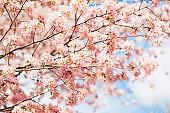 Beautiful sakura or cherry blossom with soft focus. Blue sky background. Spring time.