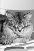 Furry cat lying outdoor , siberian silver pet of livestock in relax