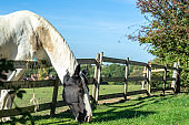 White horse by a wooden fence