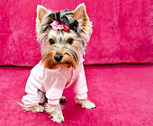 Beautiful puppy yorkshire terrier in the clothing with bow