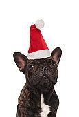 close up of cute french bulldog wearing a santa hat