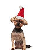 adorable small brown dog wearing santa hat sitting